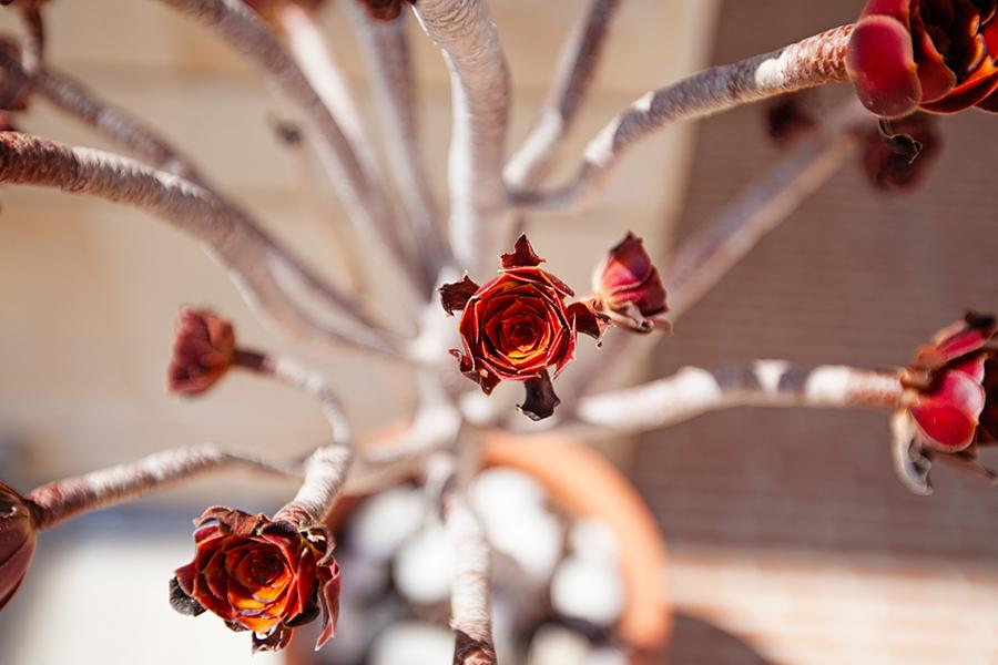 norra-cypern-blomma