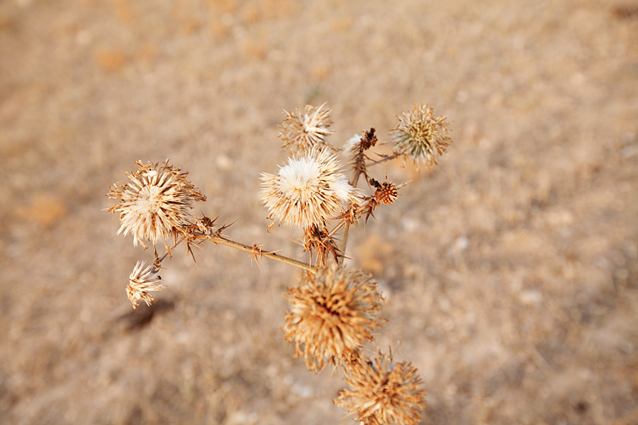 north-cyprus-milk-thistle-picture-of-the-day