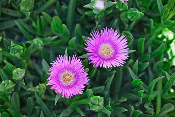 Pink-flowers-north-cyprus-ncm