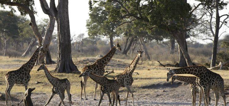 HUNTING-giraffes-africa-wild-life