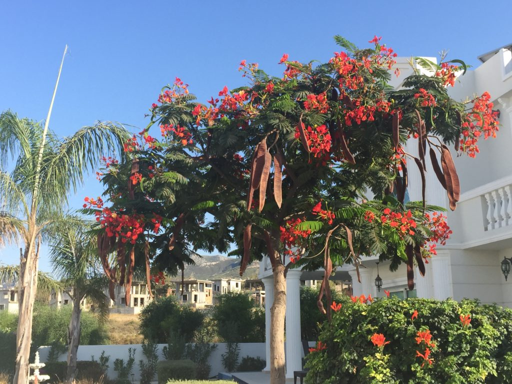 carob-tree-catalkoy-north-cyprus