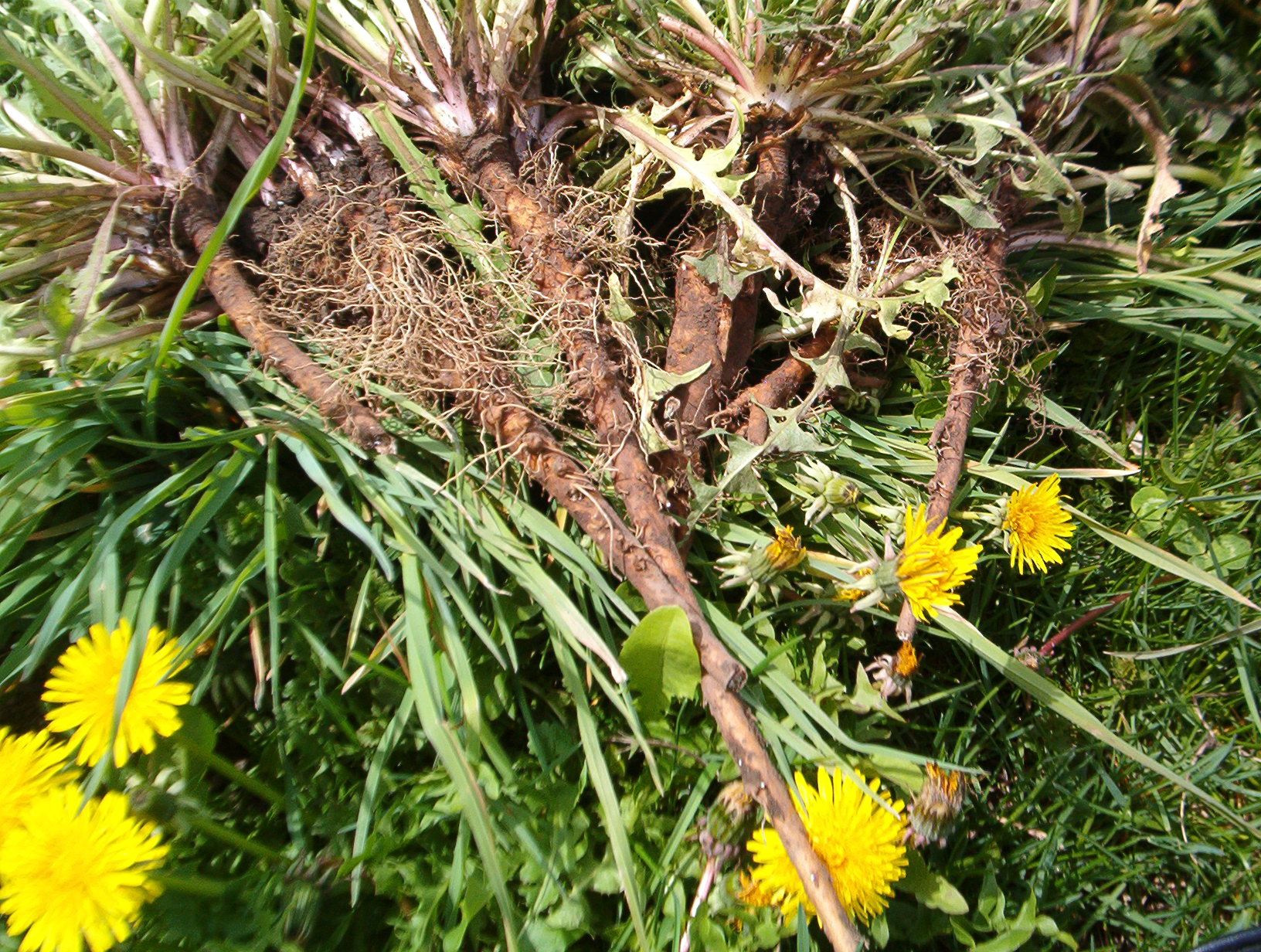 north-cyprus-dandelion-root