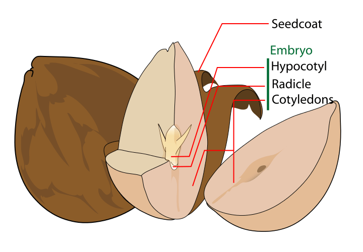 Avocado seed diagram