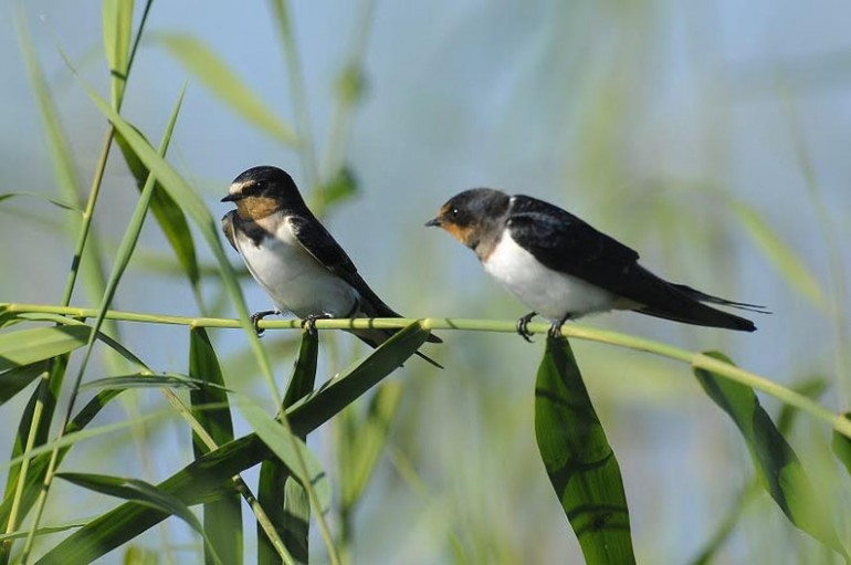 Migratory swallows