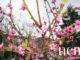 Photos Bellapais pink flower tree