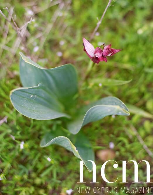 Inspirational Trekking North Cyprus flower