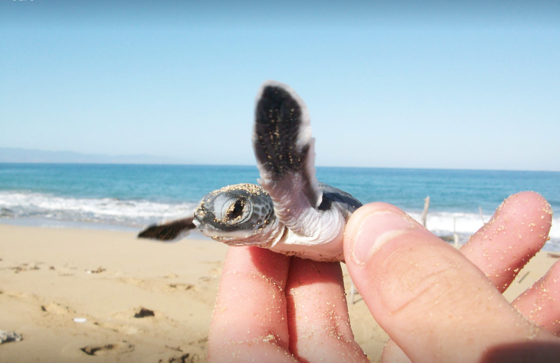 Join the sea turtles excavatetion and watch the turtles get released to the sea.