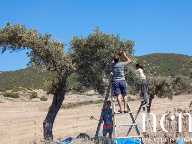 Olive picking season!