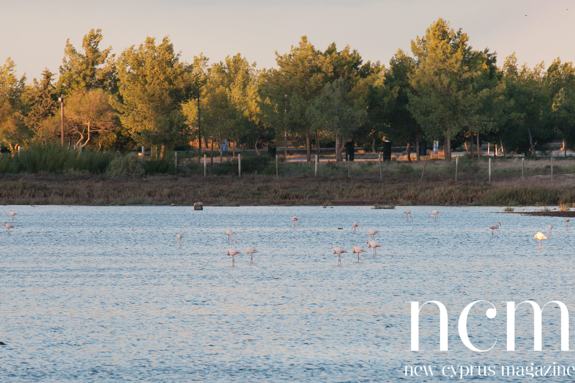 Flamingos in Gülseren Famagusta North Cyprus
